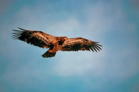 birdEagle