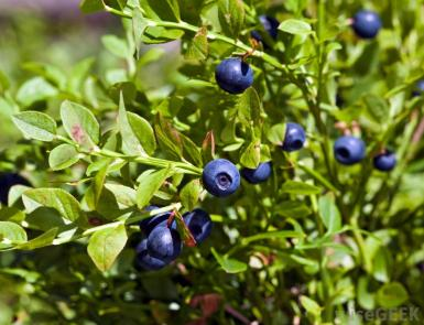 huckleberry-plant
